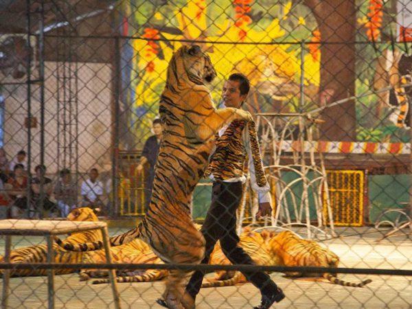 ttl-srircacha-tiger-zoo-02