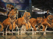 ttl-srircacha-tiger-zoo-04